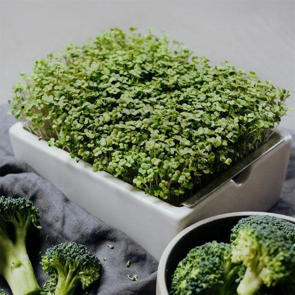 Brokkoli Saatpads für Microgreens 30 g